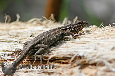 Ornate Tree Lizard, Hassayampa River Preserve, Arizona