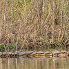 Western Painted Turtles basking in the sun in early spring