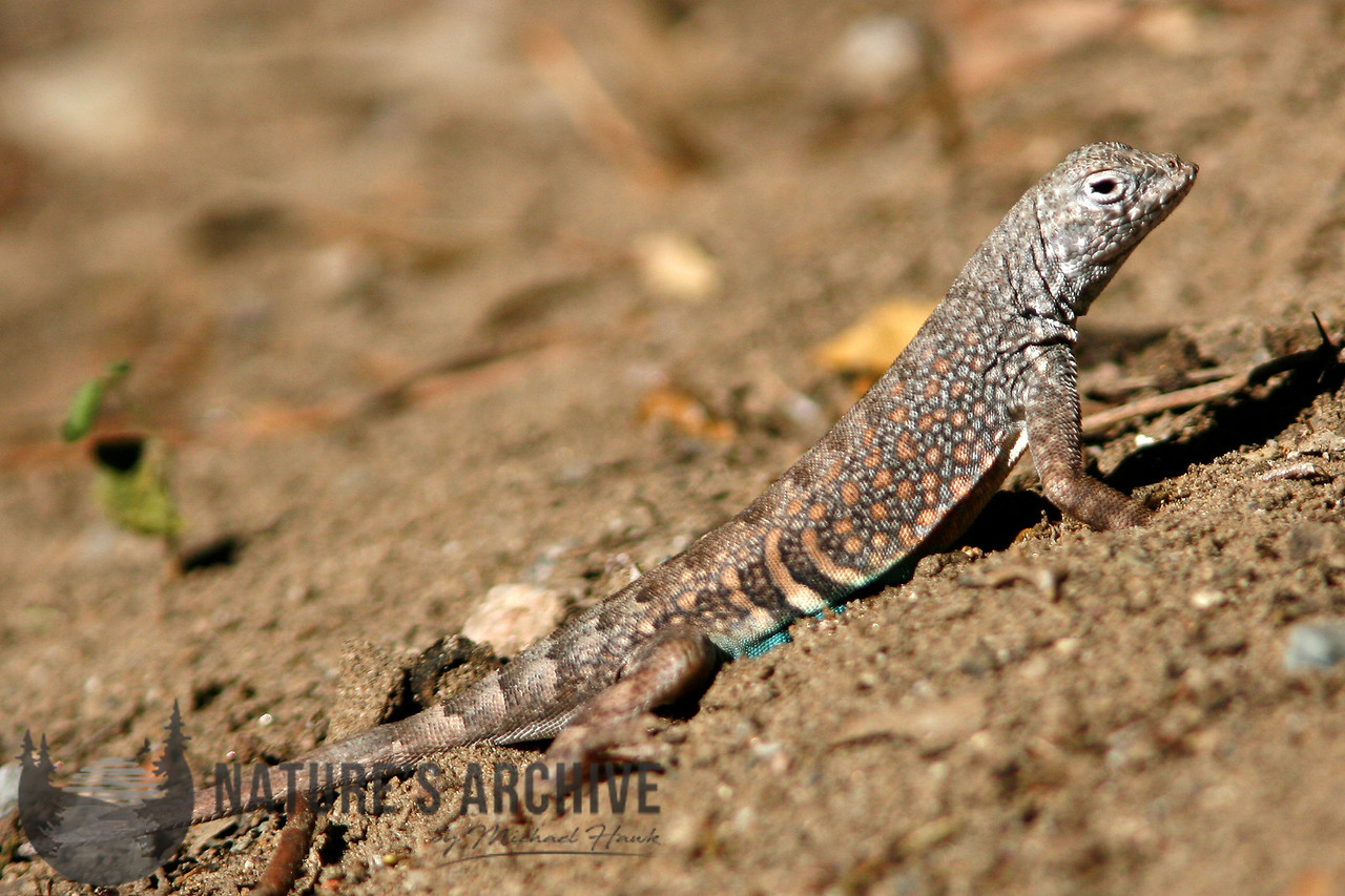 Greater Earless Lizard, Boyce Thompson Arboretum, AZ