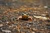 Wood Frog at Norris