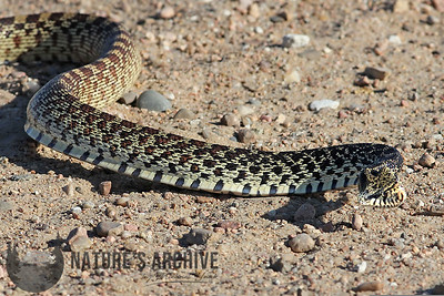Kingsnake (?), Quivira National Wildlife Refuge, KS