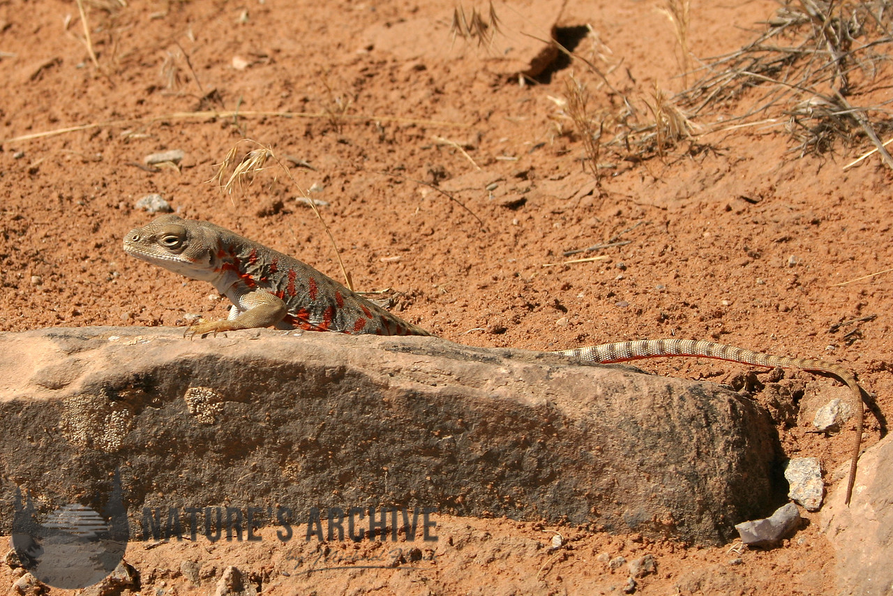 Long-Nosed Leopard Lizard, Arches NP, Utah