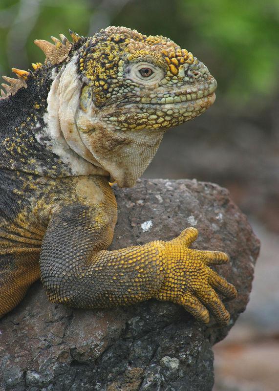 Land Iguana (<i>Conolophus subcristatus</i>) Galapagos Islands National Park, Ecuador