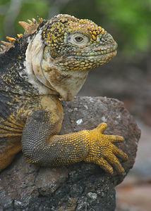 Land Iguana (Conolophus subcristatus) Galapagos Islands National Park, Ecuador