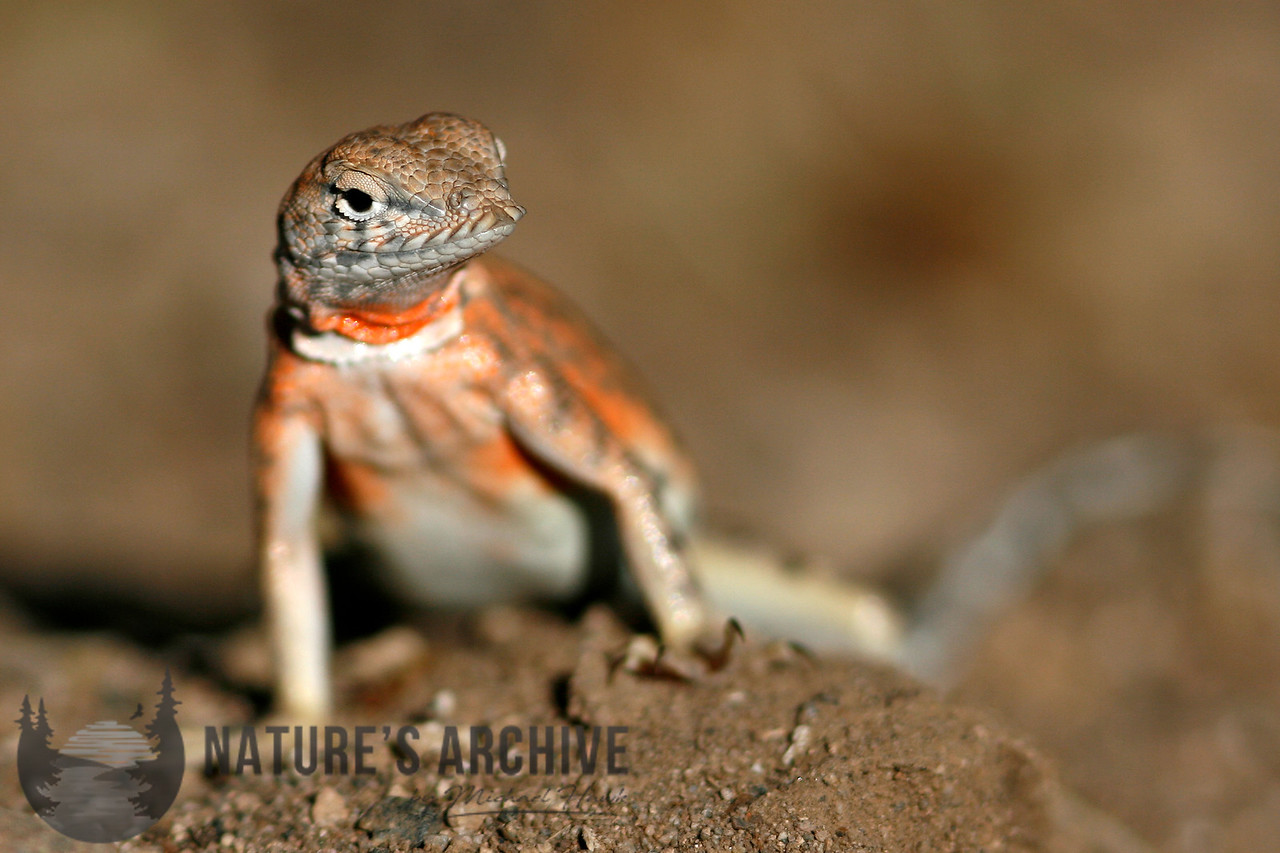 Greater Earless Lizard<br /> Boyce Thompson Arboretum
