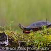 Western Painted Turtle basking on a vegetated log in Champion Lake #2