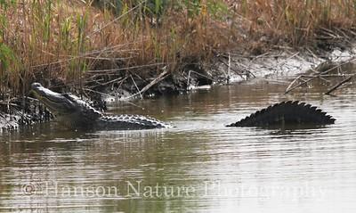 American Alligator vocalizing mating call