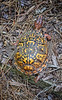 DSC_0237 Box Turtle Dorsal View