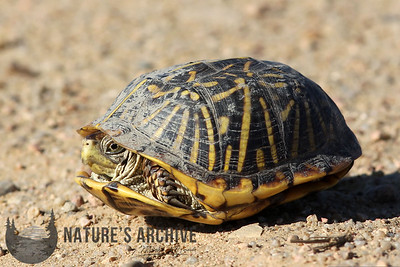 Ornate Box Turtle, Quivira National Wildlife Refuge, KS