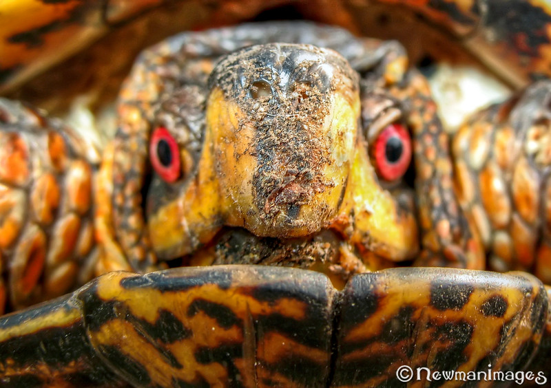 Box Turtle Fred