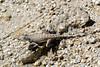 zebra tailed lizard