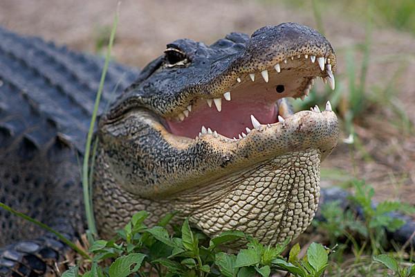 American alligator (<i>Alligator mississippiensis</i>) Everglades National Park, FL