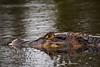 Black caiman (<i>Melanosuchus niger</i>)  Mamirauá Reserve, Amazon, Brazil