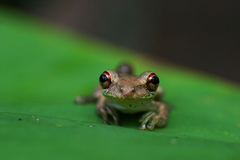 Tree Frog<br /> Corkscrew Swamp Sanctuary, Florida, USA