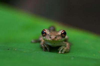 Tree Frog Corkscrew Swamp Sanctuary, Florida, USA