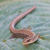 Young Northern Alligator Lizard