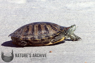 Red-eared Slider, Quivira National Wildlife Refuge, KS
