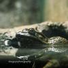American Bullfrog ( Lithobates catesbeianus)