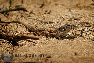 Tiger Whiptail, Arroyo Seco, Monterey County, CA