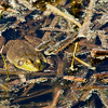 frog (lowe's pond)-041010_102910(2)