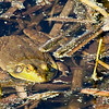 frog (lowe's pond)-041010_102917(2)