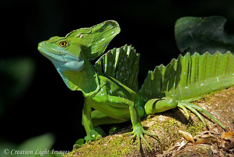 Basilik Lizard