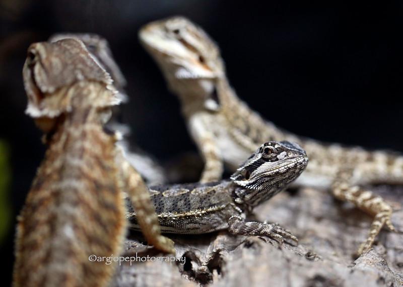 Beared Dragon Grouping