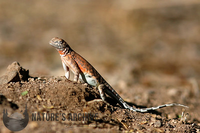 Greater Earless Lizard Boyce Thompson Arboretum