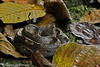 Western Hog-nosed Pit Viper