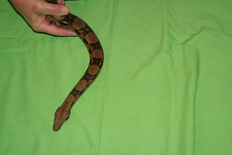 Emma - Female Columbian Red Tail Boa
