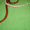Male Corn Snakes - Normal and Albino