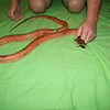 Ziggy - Male Royal Diahim Rat Snake from India
