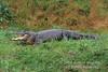 American Alligator, Alligator mississippiensis, Controlled Conditions
