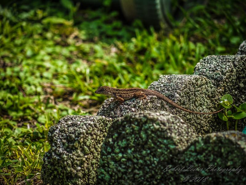 Brown Anole Lizard,Clearwater,Fl 2009-09-30-366