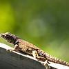 Brown Anole Lizard (spe,lr crisp,vig)2018-04-19-