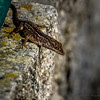 Brown Anole Lizard_2017-11-04-047301