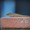 2017-08-06_P8061708_ Lizard,Clwtr