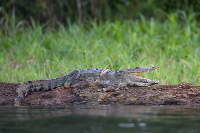 Morelet's Crocodile - Chiquibul National Park & Reserve, Belize