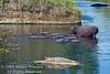 Nile Crocodile, Crocodylus niloticus,Hippos,  Masai Mara National Reserve, Kenya, Africa