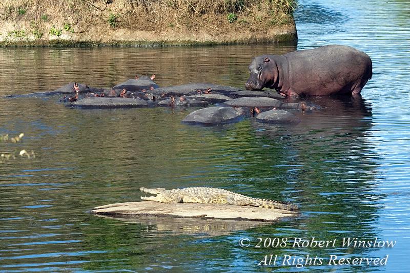 Nile Crocodile, Crocodylus niloticus, and Hippos, Masai Mara National Reserve, Kenya, Africa