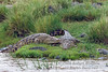 Two Nile Crocodiles, Crocodylus niloticus, Masai Mara National Reserve, Kenya, Africa