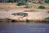 Two Nile Crocodiles, Crocodylus niloticus, Samburu National Reserve, Kenya, Africa