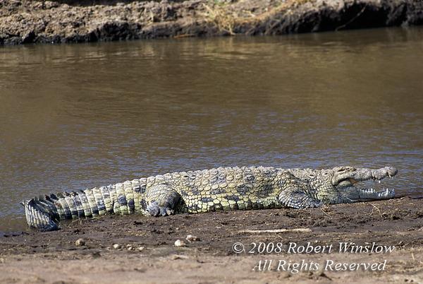 Nile Crocodile, Crocodylus niloticus, Samburu National Reserve, Kenya, Africa