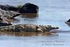 Nile Crocodile, Crocodylus niloticus, Mara River, Masai Mara National Reserve, Kenya, Africa