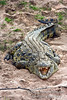 Nile Crocodile, Crocodylus niloticus, Masai Mara National Reserve, Kenya, Africa