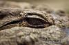 Eye of a Nile Crocodile, Crocodylus niloticus, Samburu National Reserve, Kenya, Africa