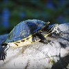 2017-03-24_P3240001_ Florida Pond cooter turtle,Crescent Lake