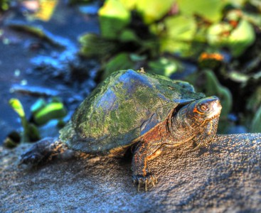 2017-03-24_P3240002_ Florida Pond cooter turtle,Crescent Lake_2
