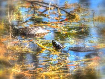 2017-02-12_P2120059_paintmine,lum1 9,mish,colorsat63,sat highlights4 0,gamma1 07_ Florida Red-bellied Turtle