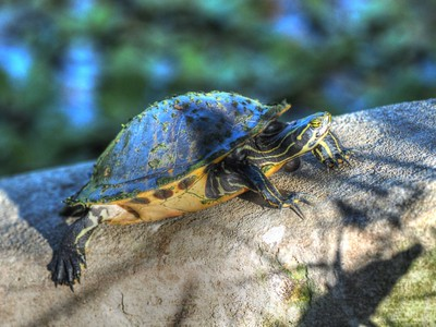 2017-03-24_P3240001_ Florida Pond cooter turtle,Crescent Lake_2